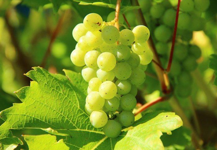 Pour faire le champagne il faut aussi du raisin: voici le processus de fabrication